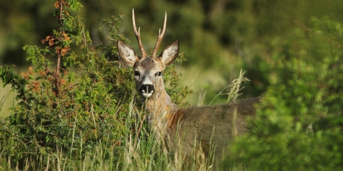 Szezonkezdő akció őzbak vadászatra