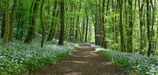 Medvehagyma illatát viszi a tavaszi szél